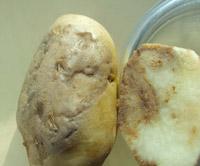 Клубень картофеля Click on image to enlarge