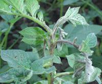 Стебли и листья картофеля Click on image to enlarge
