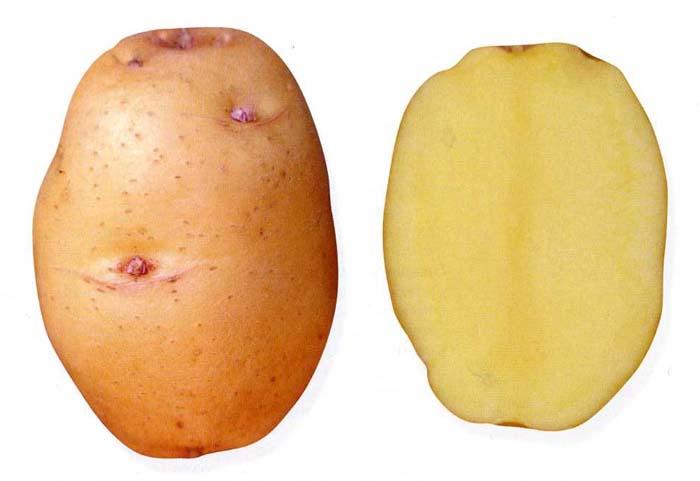 Сорт картофеля Барон
