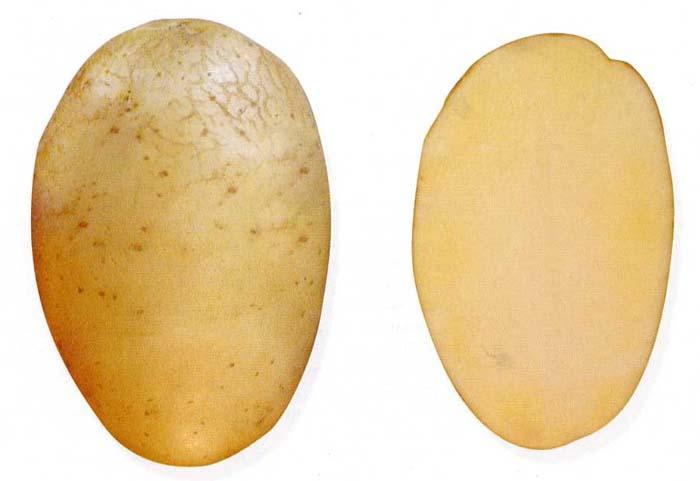 Сорт картофеля Даренка