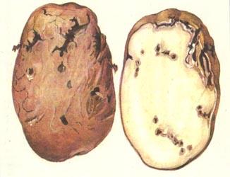 Селекционеры США разрабатывают сорта картофеля, устойчивого к проволочнику