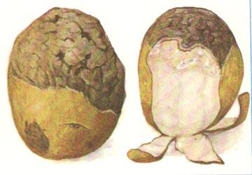 Повреждения, вызываемые стеблевой нематодой